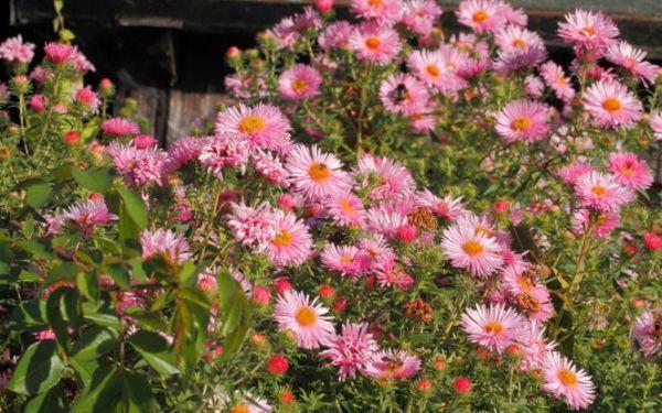 Astry bylinowe - najpiękniejsze kwiaty w jesiennym ogrodzie